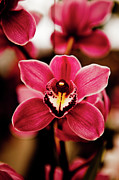 Focus On Foreground Metal Prints - Deep Cut Orchid Society 15th Annual Orchid Show Metal Print by Dan Pfeffer