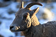 Big Horn Sheep Photos - Deep In Thought by Adam Jewell