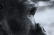 Zoo Prints - Deep in Thought Print by Jack Scicluna