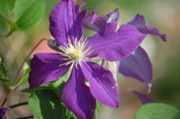 Clematis Framed Prints - Deep Purple Framed Print by Heather Chaput