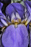 Bearded Iris Framed Prints - Deep Purple Framed Print by Paul Ward