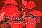 Green Burgandy Posters - Deep Red Poinsettia Christmas Card Poster by Linda Phelps