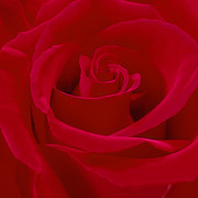 Square Digital Art - Deep Red Rose by Mike McGlothlen
