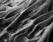 Tree Roots Prints - Deep Roots Print by David April
