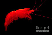 Mesopelagic Art - Deep-sea Prawn by Danté Fenolio