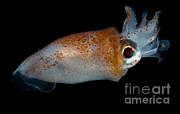 Dante Fenolio - Deep Sea Squid