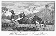Narrative Of An Expedition Prints - Deer, 1796 Print by Granger