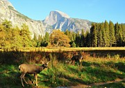 Tranquil Posters - Deer And Half Dome Poster by Sandy L. Kirkner