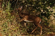 Animals Photos - Deer  by Bradley Hruza