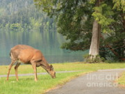 Green Shades Framed Prints - Deer by Crescent Lake Framed Print by Carol Groenen