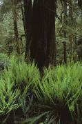 North Vancouver Framed Prints - Deer fern encircle a Framed Print by Sam Abell