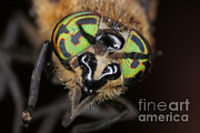 Biting Prints - Deer Fly Print by Ted Kinsman
