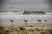 2012 Art - Deer in Pacific Ocean by Connie Cooper-Edwards