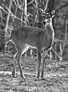 Susan Leggett Metal Prints - Deer in the Forest Metal Print by Susan Leggett