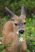 Black-tail Posters - Deer in the Wild Flowers Poster by Pierre Leclerc