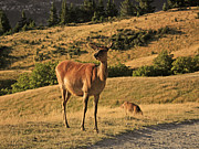 Photo Art Photo Posters - Deer on mountain 2 Poster by Pixel Chimp