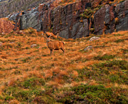 Wester Ross Prints - Deer on Scottish hillside Print by Gary Eason
