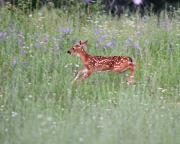 Flowers Photographs Prints - Deer Run Print by Robert Pearson