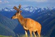 Selection Posters - Deer With Antlers, Mountain Range In Poster by Natural Selection Craig Tuttle