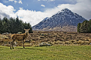 Buachaille Etive Mor Framed Prints - Deer with Buachaille Etive Mor  Framed Print by Laura George
