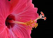 Hibiscus Art - Defined Theory by Amanda Vouglas