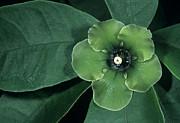 Deherainia Smaragdina Flower Print by Bob Gibbons