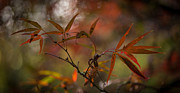 Maple Leaf Prints - Delicate Autumn Peace Print by Mike Reid