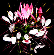 Cleome Flower Posters - Delicate Beauty Poster by Kim Galluzzo-Wozniak