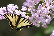 Swallowtail Art - Delicate Beauty by Shirley Mailloux