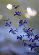 Blue Flowers Photos - Delicate Blue Wildflowers by Carol Groenen