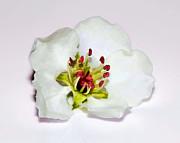 Delicate Cherry Blossom Print by Tracie Kaska