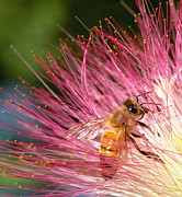 Mimosa Flowers Posters - Delicate Embrace - Bee and Mimosa Poster by Steven Milner
