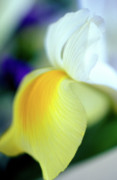 Floral Photos Prints - Delicate Iris Print by Kathy Yates