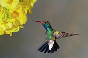 Humming Bird Prints - Delicate Print by Janet Fikar
