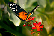Danaus Plexippus Prints - Delicate Monarch Print by Julie Palencia