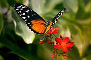 Julie Palencia - Delicate Monarch