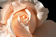 Peaches Prints - Delicate Peach Colored Rose Print by Tracie Kaska