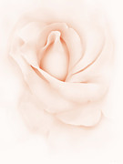 Peach Rose Posters - Delicate Peach Rose Flower Poster by Jennie Marie Schell