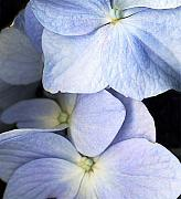 Violet Originals - Delicate Petals by Deborah J Humphries