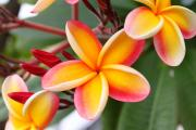 Hawaiian Photos - Delicate Plumeria by Brian Governale