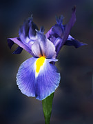 Designs By Susan Prints - Delicate Purple Iris Print by Susan Savad