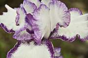 Purple. Iris. Buds Framed Prints - Delicate Ruffles 1 Framed Print by Angelina Vick