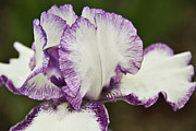 Purple. Iris. Buds Prints - Delicate Ruffles 3 Print by Angelina Vick