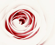 White Rose Photos - Delicate Temptation by Kristin Kreet