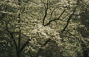 Spring Scenes Metal Prints - Delicate White Dogwood Blossoms Cover Metal Print by Raymond Gehman