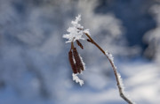 Frost Metal Prints - Delicate Winter Metal Print by Mike  Dawson