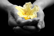 Holding Flower Photo Framed Prints - Delicate Yellow Flower In Hands Framed Print by Tracie Kaska