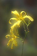 Nature Pyrography Prints - Delicate Yellow Lilies Print by Linda Phelps