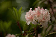 Rhodies Posters - Delicately Peach Poster by Mike Reid