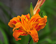 Monocot Posters - Delightful Daylily Poster by Al Powell Photography USA